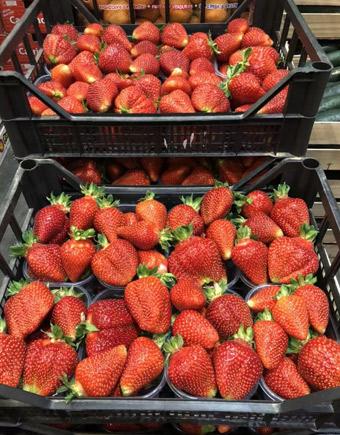 Fragole   B.T. Fruit SRL